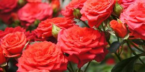 rose_photo